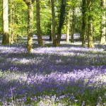 South_Downs_Bluebells 1